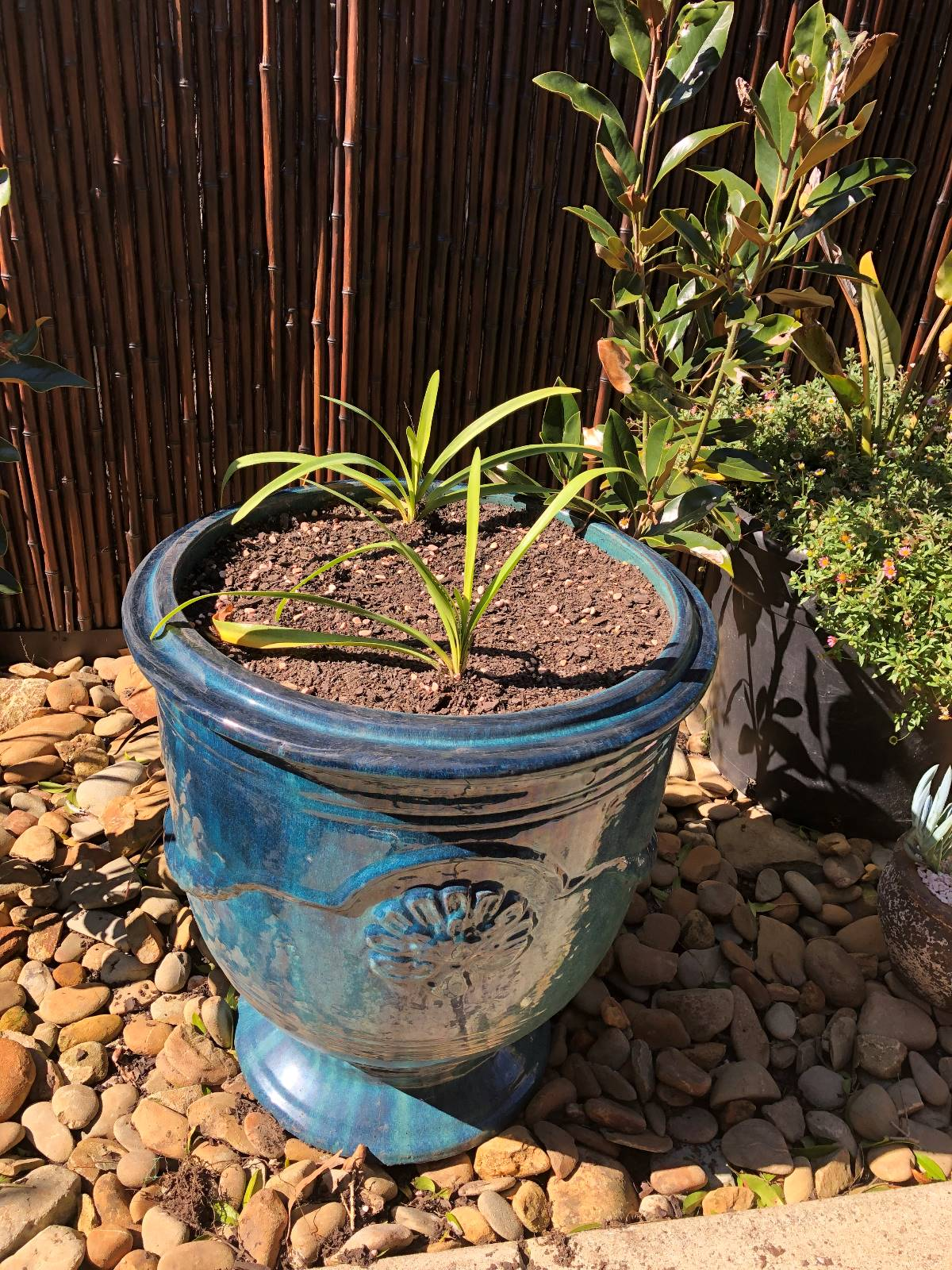 What plant would grow well with agapanthus