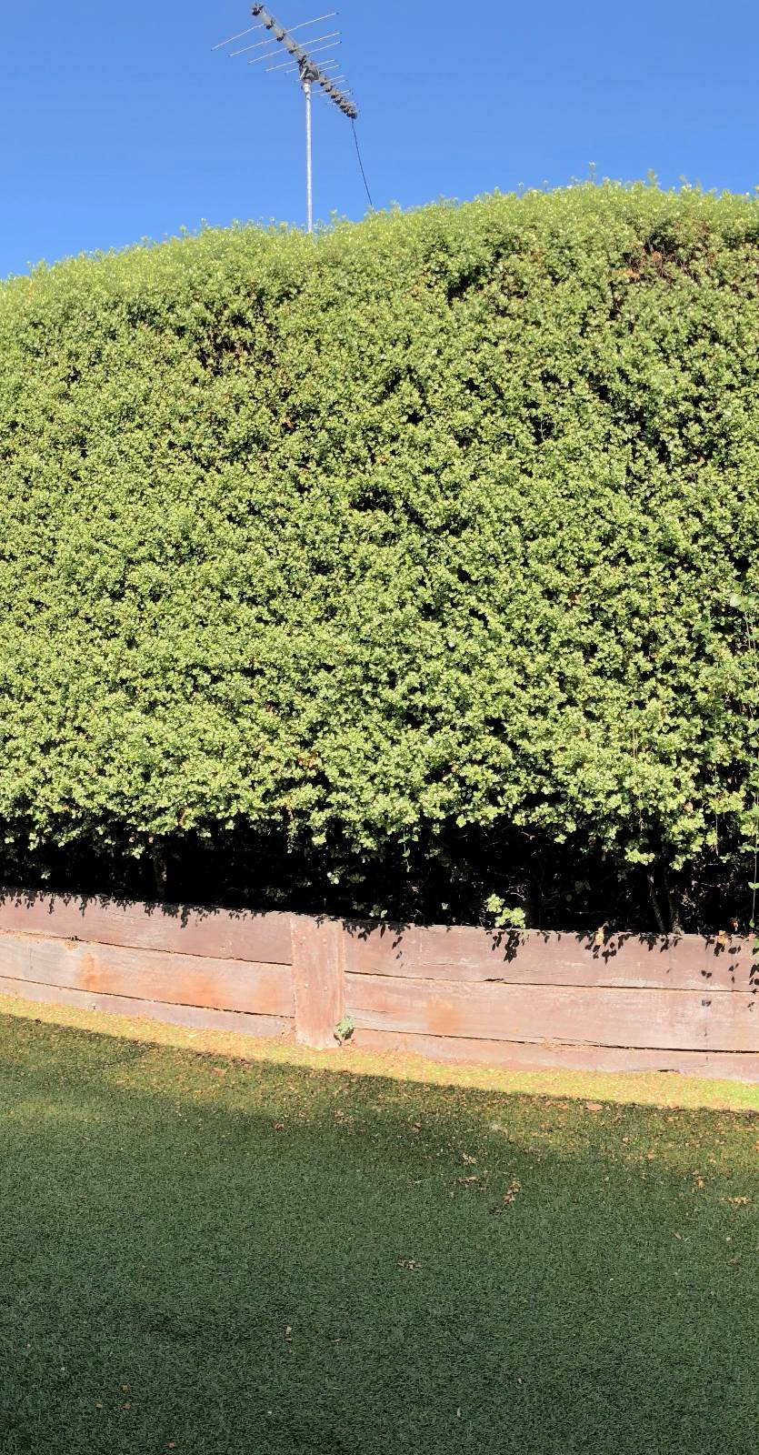 Pittosporum hedge - can we sell or just cut it down?
