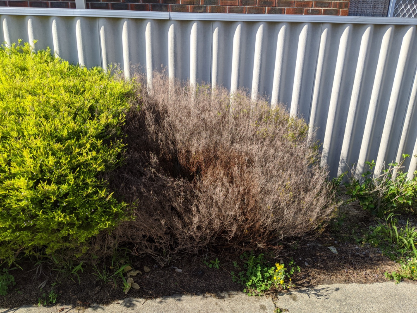 Hedge dying